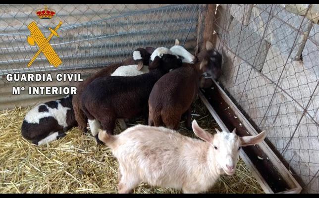 Detenido un vecino de Berja por robar 6 corderos tras saltar la tapia de una finca