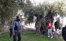 Olivos centenarios, un reclamo turístico en Alcolea