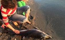 Aparece una cría de delfín sin vida en una playa de Adra