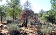 La restauración forestal de la Sierra de Baza conllevará talas del 85% en algunas zonas
