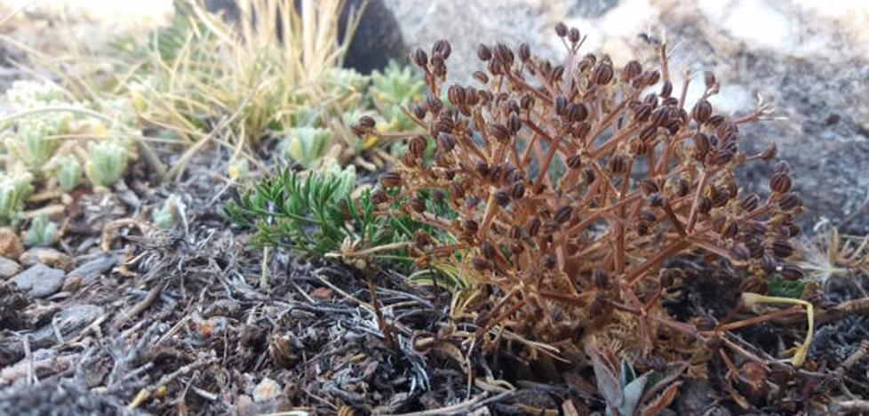 Localizan en la Sierra de Baza una especie de flora endémica del levante peninsular
