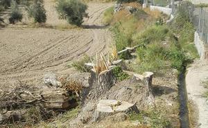 La Vega de Baza se queda poco a poco sin sus grandes árboles