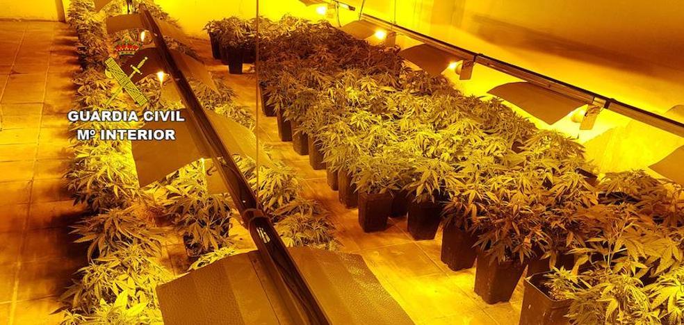 Decomisadas 340 plantas de marihuana en un local público de El Ejido