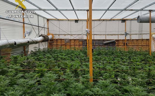 Descubren más de 770 plantas de marihuana en una vivienda de El Ejido