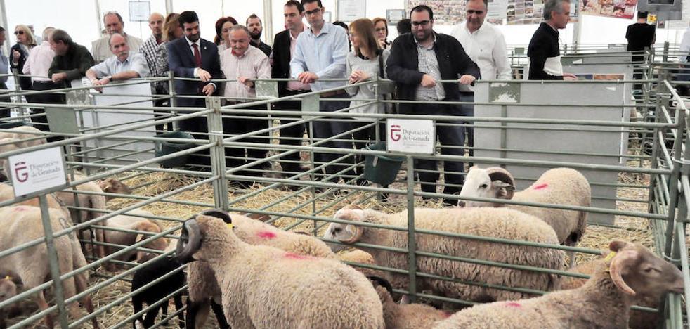La Real Feria de Ganado de Loja muestra el futuro del sector con la oveja 'rabúa' como protagonista