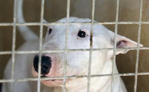 Vigilan al menos 2 semanas al pitbull que atacó al niño 3 años en Vícar