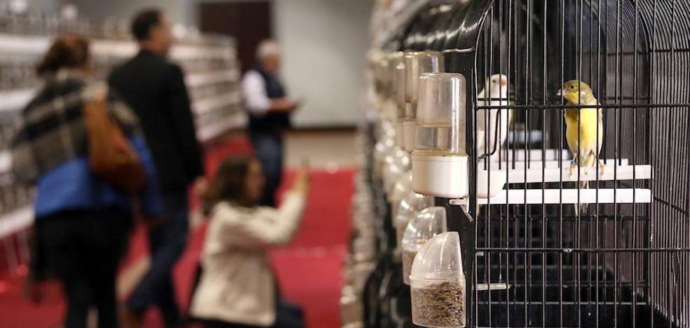 Cerca de 1.200 canarios reunidos en una misma sala