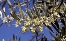 16.902 granos de polen de olivo por metro cúbico de máxima