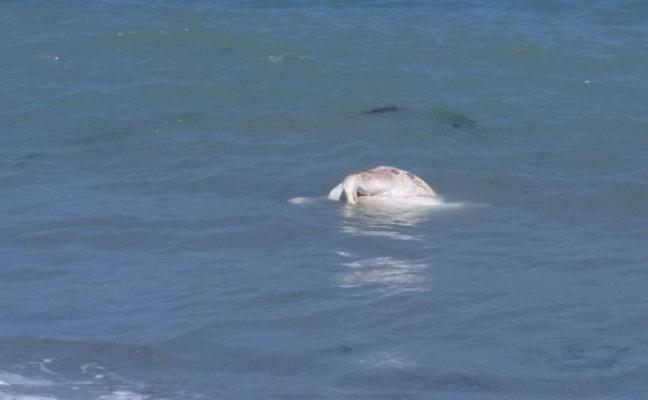 Hallan el cadáver de una vaca flotando en la playa de Vera