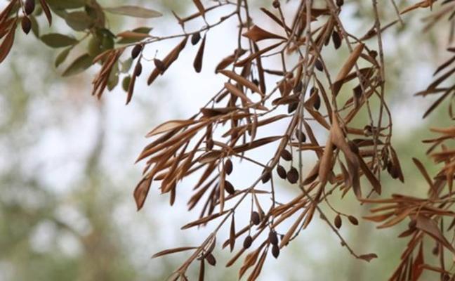 Organizaciones agrarias piden medidas para evitar la bacteria 'Xylella'