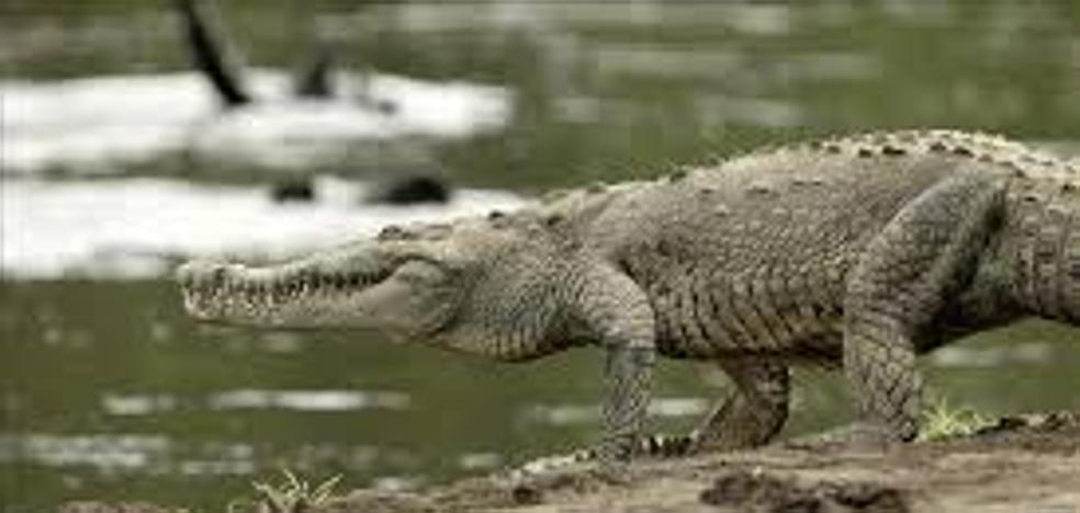 Un cocodrilo ataca a un hombre borracho cuando orinaba en una laguna