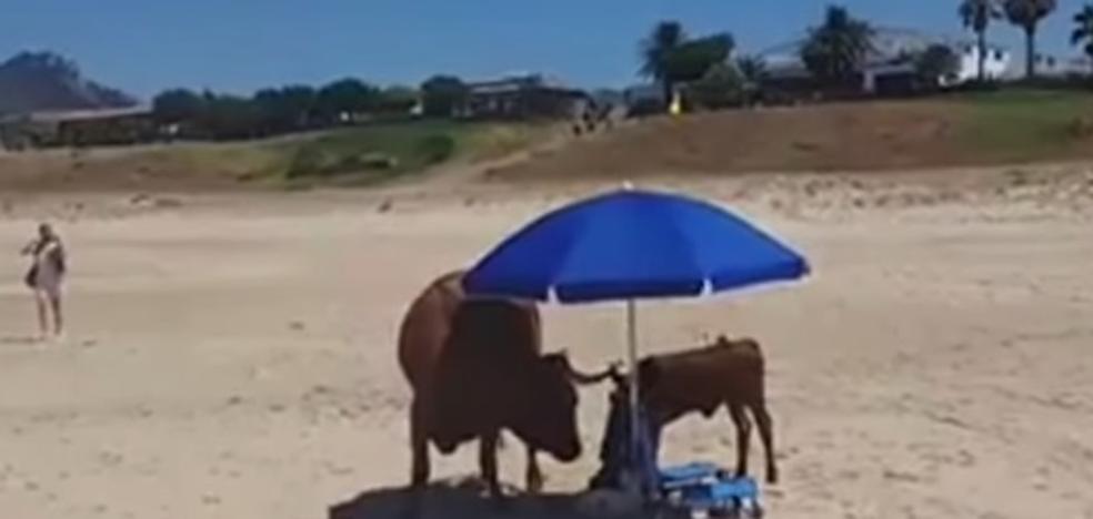 Una vaca y su cría se apoderan de una sombrilla para resguardarse del sol en una playa de Cádiz