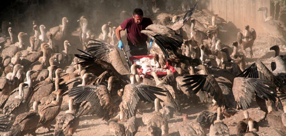 Buitreman lleva 20 años dando de comer a cientos de buitres en Teruel