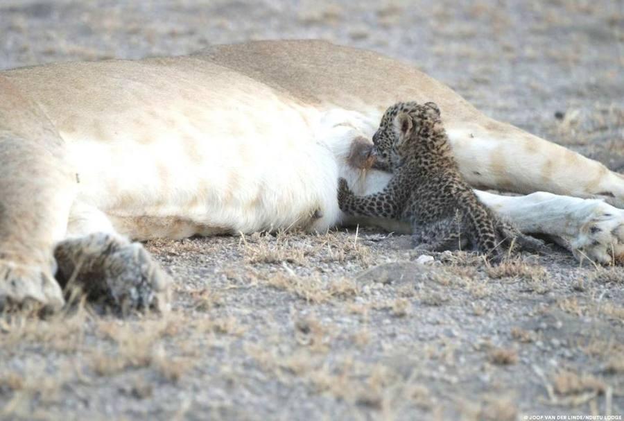 La leona que hace de mamá con este leopardo