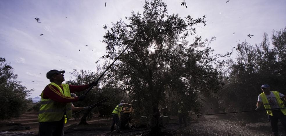 Una cosecha de aceite de oliva con pronóstico reservado