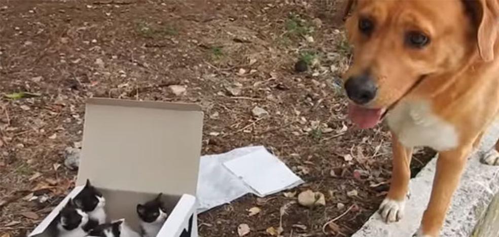Un perro encuentra varios gatitos abandonados y los acoge como un padre