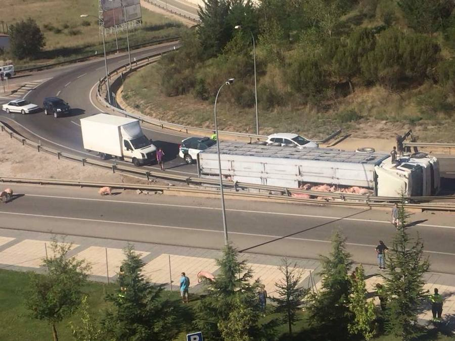 Varios cerdos deambulan por Soria al volcar el camión que los llevaba