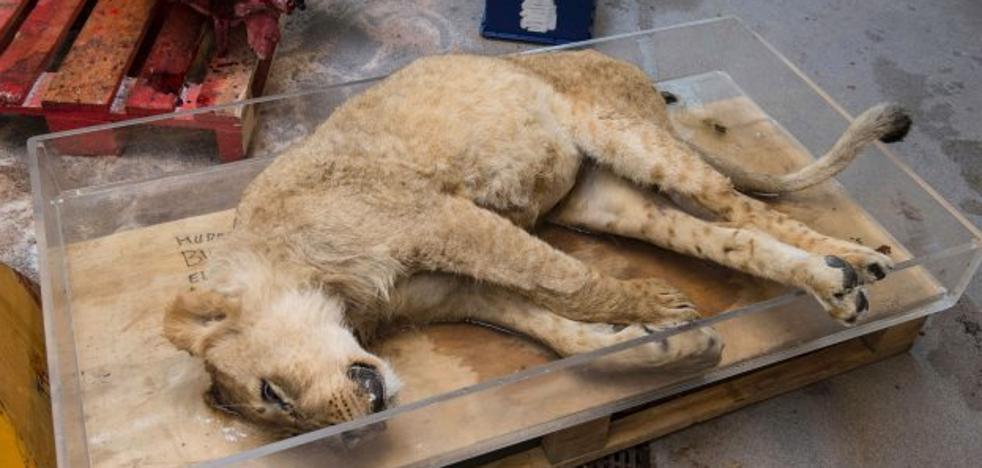La terrible caza para pociones 'curalotodo': huesos de león a granel
