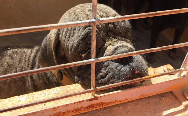 Denuncian a la perrera de Motril: «Los perros entran sanos y salen muertos o enfermos»