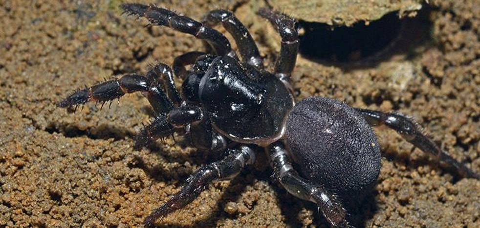 Una especie de araña cruzó el Índico desde África hasta Australia