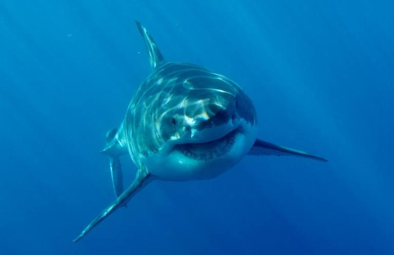 Los 4 grandes tiburones que te puedes encontrar en el Mediterráneo