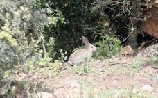 Adoptan medidas cinegéticas especiales por los daños del conejo silvestre