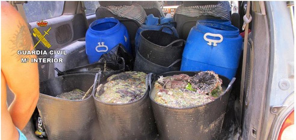 Intervienen más de tres toneladas de anémonas capturadas ilegalmente
