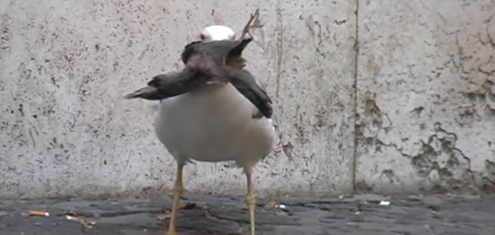El brutal vídeo de una gaviota devorando a una paloma que se ha hecho viral