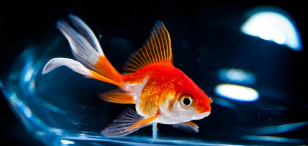 Desvelado el secreto del pez que produce alcohol para vivir sin oxígeno