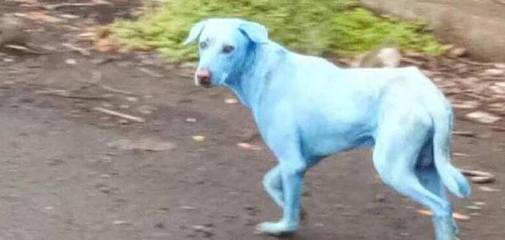 El caso de los 'perros azules' que sorprende en la India