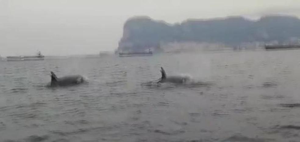 Orcas en la Bahía de Algeciras