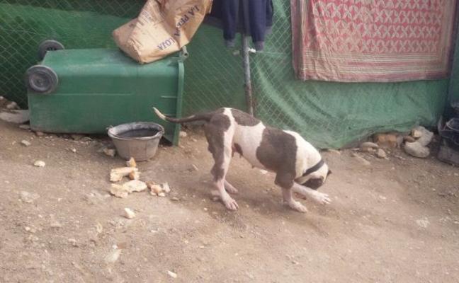 Sancionan a los dueños de 42 perros de raza peligrosa por no tener licencia
