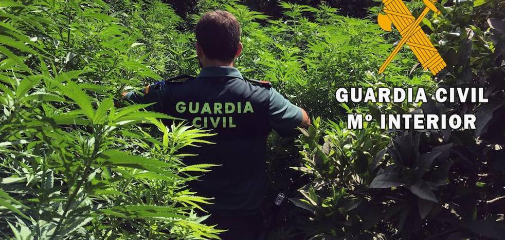 Detenido por cultivar cien plantas de marihuana en una finca de naranjos de Gádor