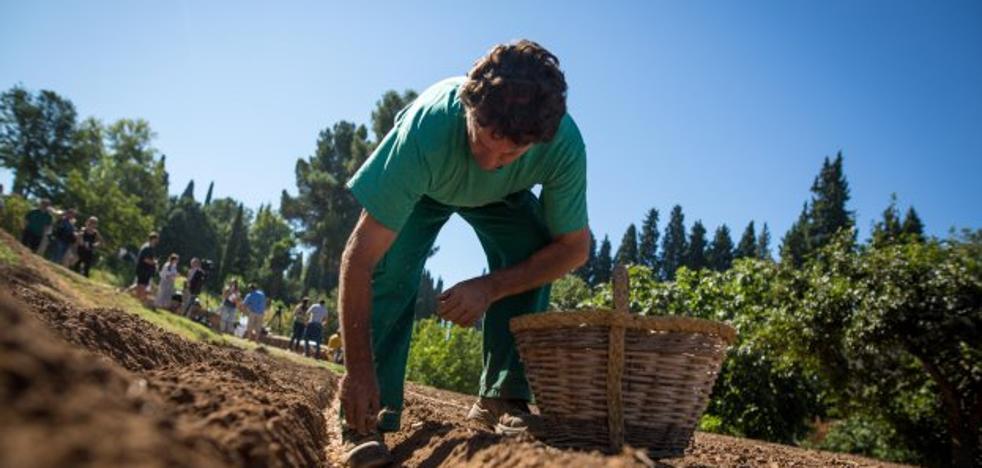 La Alhambra recupera el cultivo del azafrán en el Generalife