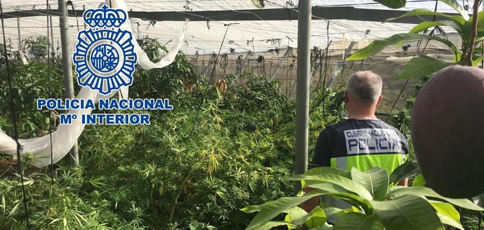 Intervenidos 122 kilos de marihuana mezclados con mangos en un invernadero de Los Guájares