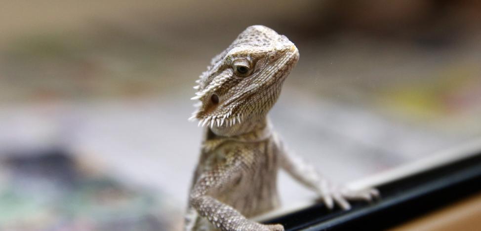 Encuentran 30 dragones barbudos en su domicilio