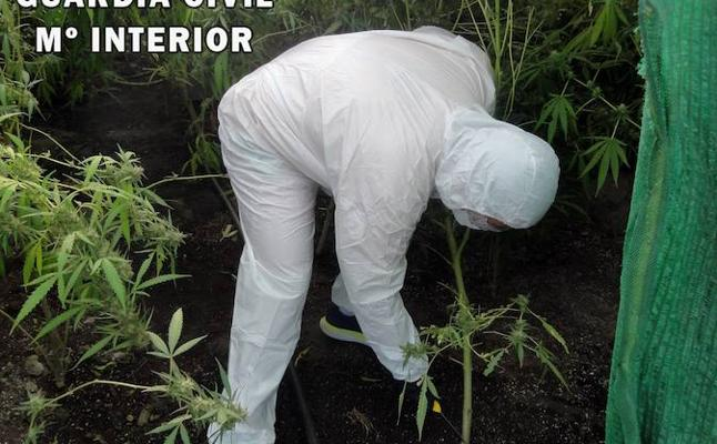 Desmantelan un cultivo con 183 plantas de marihuana en Tabernas
