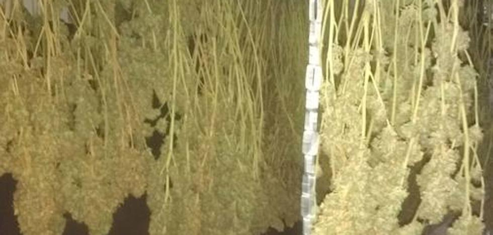 Detenidos dos jóvenes por cultivar 158 plantas de marihuana en una vivienda de Aulago