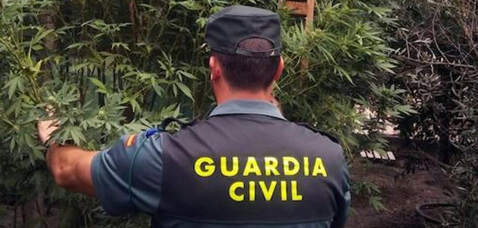 Desmantelado un cultivo con 279 plantas de marihuana ocultas entre olivos en Gádor