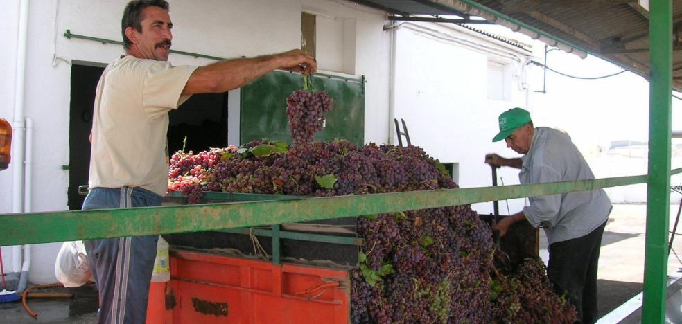 Jaén recoge más de 800.000 kilos de uva este año