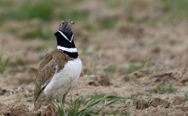Aves esteparias: Su futuro, la extinción