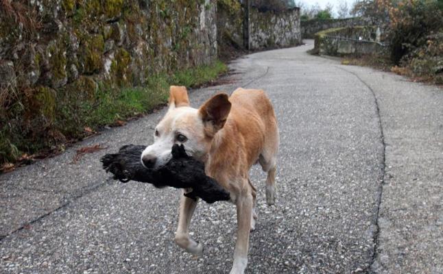La desoladora imagen de una perrita que transporta el cadáver calcinado de su cría en Galicia