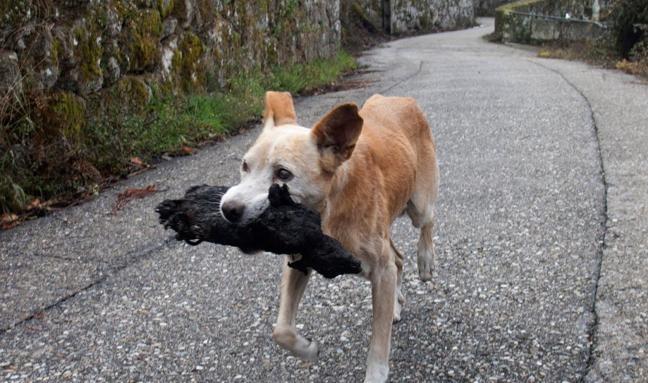 La sobrecogedora foto de una perrita con el cadáver de su cría en la boca tras los incendios de Galicia