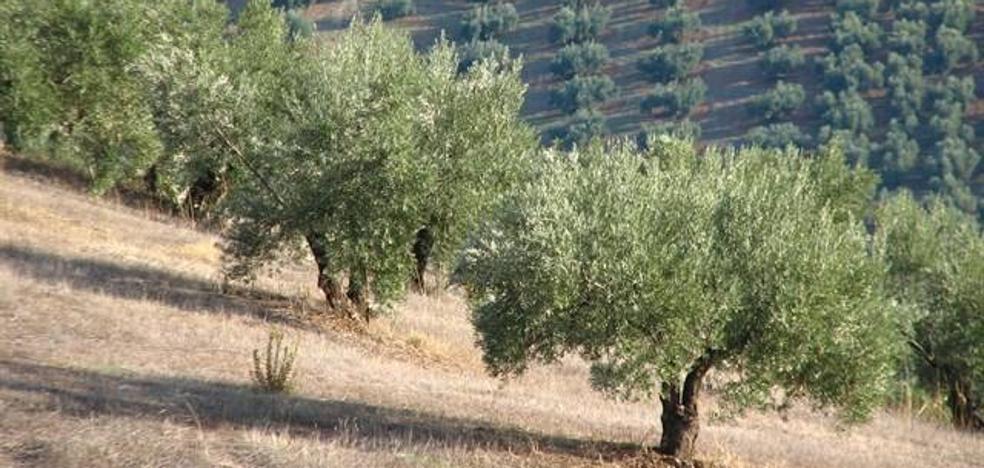 """Organizaciones agrarias coinciden en lo positivo de la lluvia en el olivar pero insisten en que es """"insuficiente"""""""