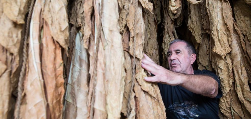 Una compañía búlgara compra el tabaco de la Vega y hace viable un sector tocado de muerte