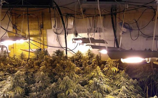 Desmantelan cuatro plantaciones de marihuana de un clan familiar