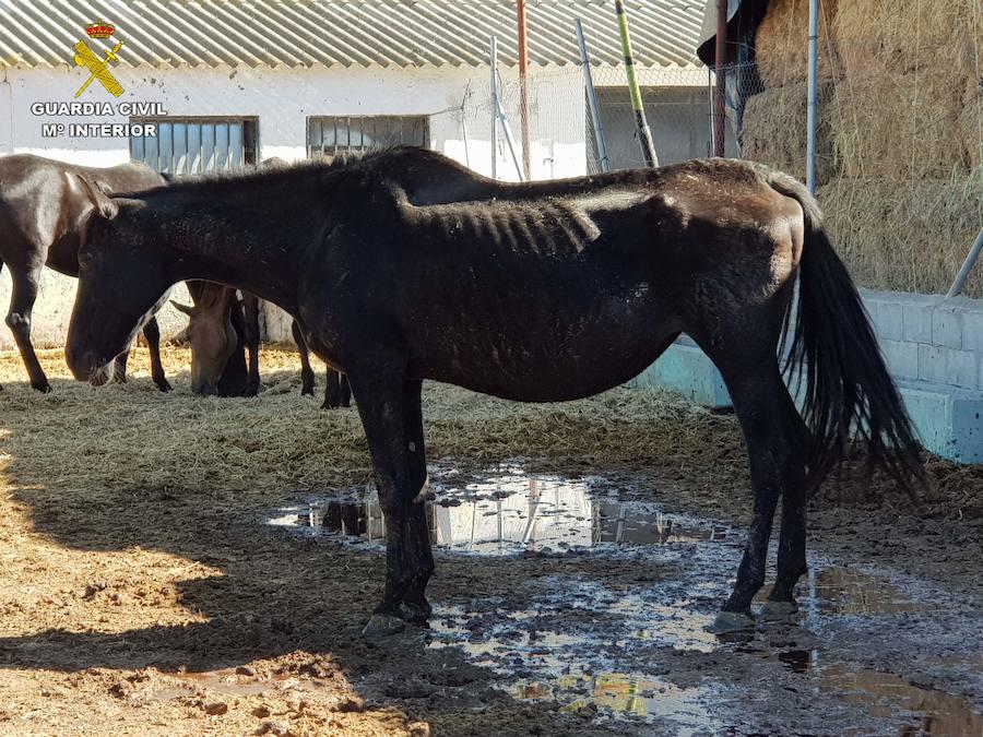 Descubren en Granada una granja clandestina con 90 equinos, muchos de ellos rozando la muerte