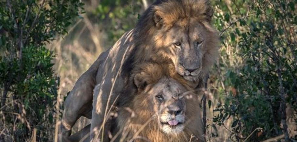 Sorprendente polémica en Kenia por la foto de dos leones macho copulando