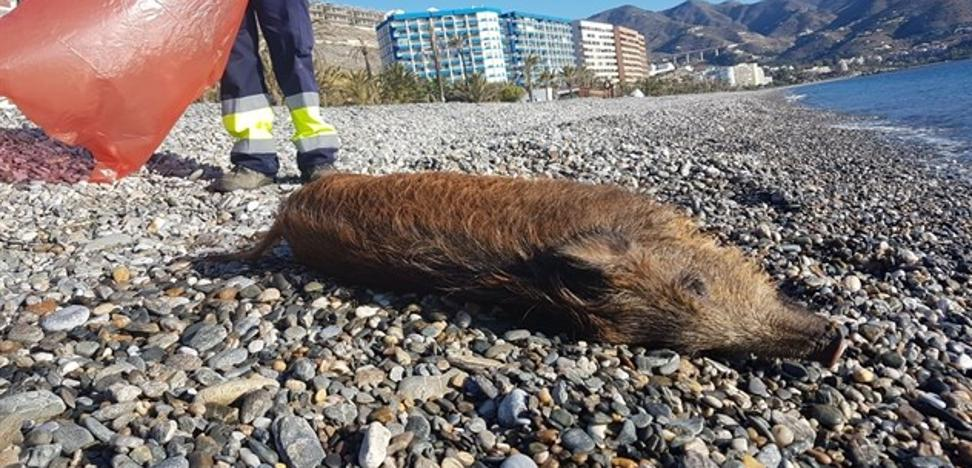 El misterioso hallazgo de un jabalí muerto en la playa de Velilla de Almuñécar