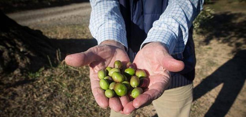 """Asaja destaca las """"buenas"""" salidas de aceite de oliva en el primer mes de campaña con 115.000 toneladas"""